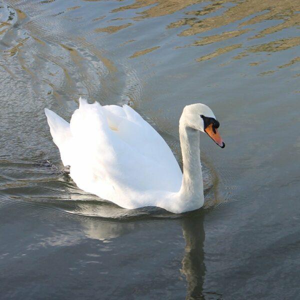 Swan-White