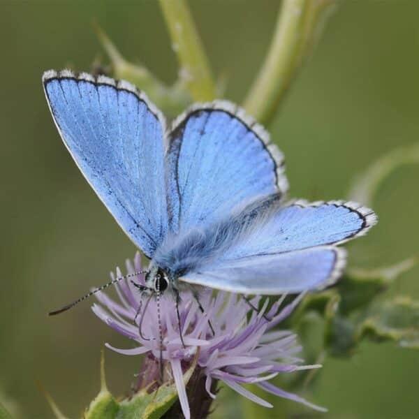 Adonis-Blue
