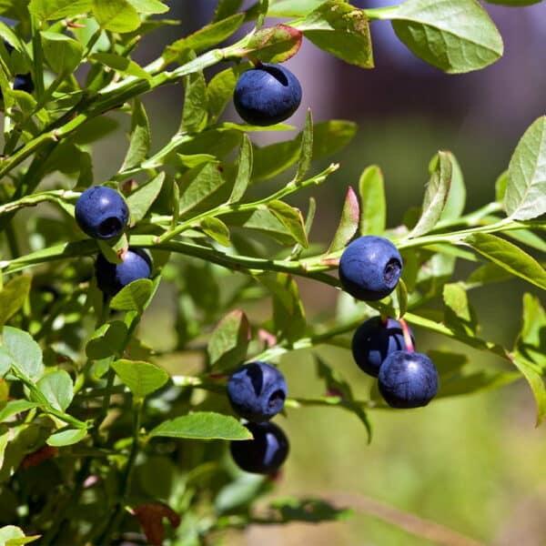 Bilberry-Blue