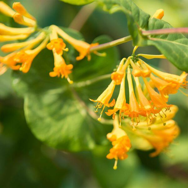 Golden-Somer