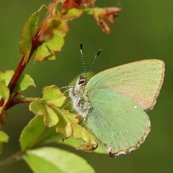 Green-Hairstreak butterfly