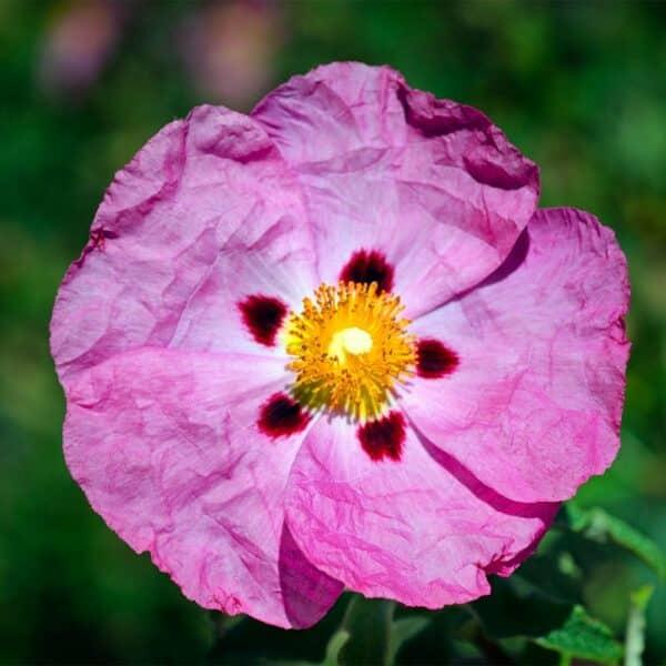 Rock-Rose
