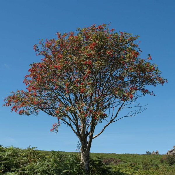 Rowan-Berry-Red
