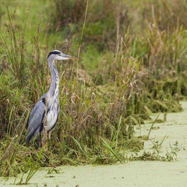 Thorndown-Grey-Heron-pic